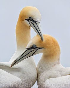 An intimate view of a mated pair of Northern gannets , Morus bassanus, fou de bassin, at their nest on Bonaventure Island, Quebec, Canada. Fencing is a behavior (pair bonding) used by Gannets to greet each other once reunited. Morus bassanus formerly: Sula bassana, Pelecanus bassanus. Bonaventure Island on the Gaspe Peninsula of Quebec is home to the largest Northern Gannet, Morus bassanus, Colony in the world and is the place to go to see large numbers of this species. Often seen off of the…