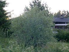 Hopeapaju Kookas mutta ilmavarakenteinen, puumainen pensas. Kaunis hopeanharmaa lehdistö, oksat pitkät ja kärjistään roikkuvat. Plants, Planters, Plant, Planting