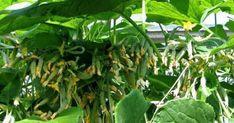 Castraveții sunt probabil cea mai îndrăgită legumă în timpul verii. Sunt foarte gustoși, plini de nutrienți și hidratează foarte bine organismul. Gustul lor crocant și proaspăt nu poate fi confundat cu nimic. În acest articol vă vom dezvălui câteva secrete de obținere a unei bogate recolte de castraveți. Secretele cultivării castraveților Secretul Nr. 1 Pe timp de arșiță castraveții absorb până la 3 litri de apă pe zi. Riscați să rămâneți fără recoltă dacă nu îi veți hidrata suficient… Cucumber, Plant Leaves, Herbs, Gardening, Country, Plants, Rural Area, Garten, Herb