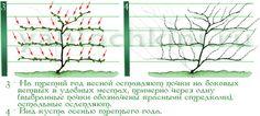 обрезка-актинидии-2