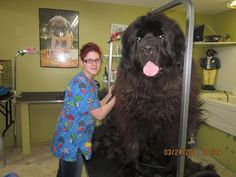 Rare breed of Newfoundland dogs bred to hunt bears. --- oh my gosh. what do you even feed these things? no, it's just a really huge normal Newfie, and probably a very small statured groomer. Huge Dogs, Giant Dogs, I Love Dogs, Baby Dogs, Dogs And Puppies, Pet Dogs, Pet Pet, Newfoundland Breed, Animal Pictures