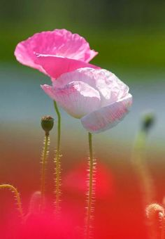 Poppies are Pretty in Pink