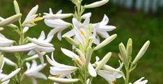 Esenţialul despre îngrijirea crinului de grădină | Paradis Verde