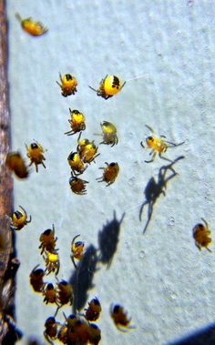 Baby Spiders~cl