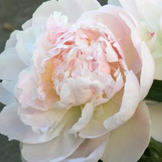 Herbaceous Lillian Wild Peony Bloom Sequence