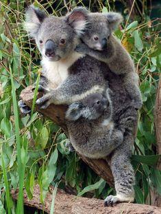 by When I Grow up, I want to be a Koala – Ksenia Usoltseva - Baby Animals Cute Funny Animals, Cute Baby Animals, Animals And Pets, Baby Animals Pictures, Cute Animal Pictures, Amazing Animals, Animals Beautiful, Koala Marsupial, Baby Panda Bears