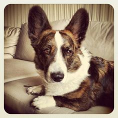 Cardigan Welsh Corgi <3 i'm obsessed with these guys I can't wait to have one someday!