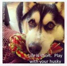 Life is short. Play with your husky.