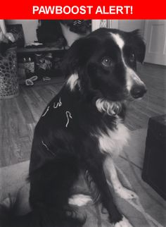Please spread the word! Border Collie was last seen in Olathe, KS 66062.  Description: Black and white, super friendly, happy, very symmetrical markings, slim white line down center of her face, 50ish pounds  Nearest Address: Olathe - College Park neighborhood off I-35 and Santa Fe/135th street. Cedar and S Cardinal