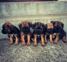 Oh good grief. How much cute in a row? Border Terrier Puppy, Terrier Dogs, Cute Puppies, Dogs And Puppies, Cute Dogs, Best Dog Breeds, Best Dogs, Patterdale Terrier, Cute Borders
