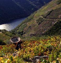 O RIBEIRO. Los viñedos de esta comarca orensana se extienden junto al río Miño. La ciudad de Ribadavia es la capital vinícola de 0 Ribeiro.
