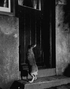 Let me in! ~ Life with Horace the housebroken Irish hare – Carl Mydans