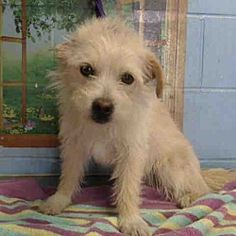 Pet ID #A511344 San Bernardino, California - #Terrier (Unknown Type, Small). Meet URGENT on 2/6 SAN BERNARDINO, a for adoption. https://www.adoptapet.com/pet/20714820-san-bernardino-california-terrier-unknown-type-small-mix