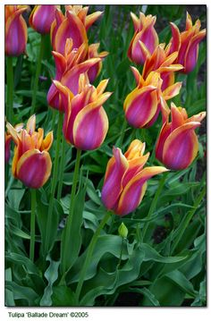 Tulipa 'Ballade' with its purple flower petals and white margins and T. 'Ballade Dream'  with its yellow margins...