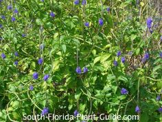 Blue Porterweed Stachytarpheta jamaicensis | Blue is the most commonly grown variety, and the only one that's moderately cold hardy