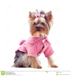 Yorkie in pink!! Pink is yorkie's color!!!