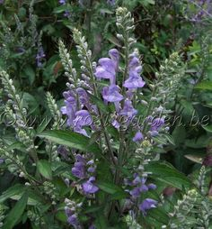 Scuttellaria incana  (skullcap) get more info about this herb at mountain rose herbs