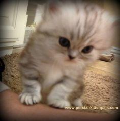 #persian # kittens #cute #cats
