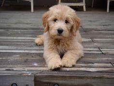 Goldendoodle. Dream dog!