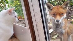 Two Cats Meet A Fox, But The Fox's Reaction Is The Best! (VIDEO)