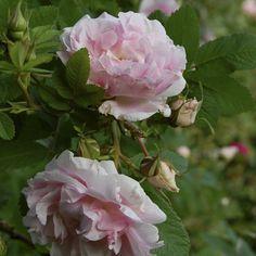 ros Martin-Frobisher Frisk, Flowers, Plants, Roses, Gardens, Inspiration, Biblical Inspiration, Pink, Rose