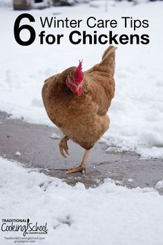 6 Winter Care Tips for Chickens | Chickens are some of the easiest homestead animals to keep... Yet, they may need some extra attention during extreme cold weather conditions. A bit of extra forethought and care will help your birds (and you!) be more prepared as winter settles in. | TraditionalCookingSchool.com