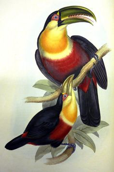 "Illustration from John Gould's ""Family of Toucans"", published 1834 Nature Illustration, Botanical Illustration, Nature Prints, Bird Prints, Audubon Prints, Parrot Painting, John Gould, Arte Pop, Vintage Birds"