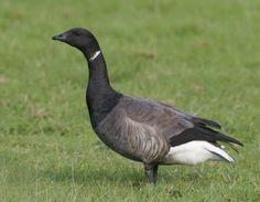 Branta bernicla - Brant Goose -- Seen since childhood, first recorded sighting: 2/25/2010 Bay Ridge, Brooklyn, NY