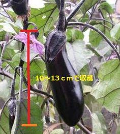 ナスの上手な育て方! Eggplant, Vegetables, Gardening, Lawn And Garden, Eggplants, Vegetable Recipes, Veggies, Horticulture