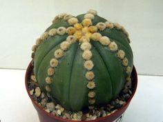 Astrophytum asterias nudum Ooibo (7 ribs)