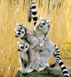 Lemur Family. Love nature, you are nature! http://sungoddessmagazine.com