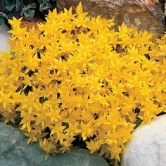 Golden Creeping Sedum: may have to add to my sedum garden at some point