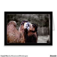 Camel Kiss Greeting Card