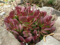 Crassula nudicaulis var. platyphylla