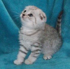 8 Best Munchkin cat images in 2019 | Munchkin cat, Cats