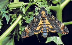 death's head hawk moth - next tattoo