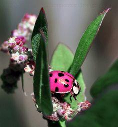 Pink Ladybug!