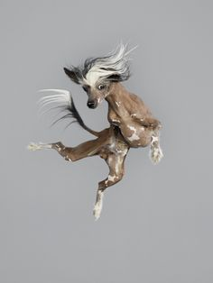 This tiny Chinese crested dog kicks a leg up for the camera,