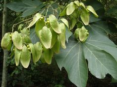 MARIETTE'S BACK TO BASICS: {Our Firmiana simplex, Sterculia platanifolia, Chinese Parasol Tree}
