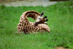 A sleeping baby giraffe