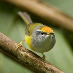 """Mountain Tailorbird   (Orthotomus cuculatus) - The mountain tailorbird (Phyllergates cuculatus) is a songbird species formerly placed in the """"Old World warbler"""" assemblage with the other tailorbirds, but it actually seems to be one of the """"pseudo-tailorbirds"""" which should be considered a genus Phyllergates in the family Cettiidae."""