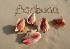 Barbuda Conchs by mariahdennis3, via Flickr