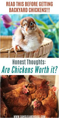 Are chickens worth it? Is having backyard chickens worth the time and cost? Click through for an HONEST breakdown of much it can cost to keep chickens, whether having chickens really saves you money on eggs, how much work it takes to raise chicks and keep hens. Plus how much time I spend caring for my backyard chickens. Great article for backyard chicken beginners or anyone thinking of getting chicks. This will help you figure out the cost of chickens and decide if backyard chickens are… Chicken Coop Designs, Chicken Coop Plans, Chicken Feed, Chicken Runs, Diy Chicken Coop, Perfect Chicken, Food Security, Nesting Boxes, Backyard Chickens
