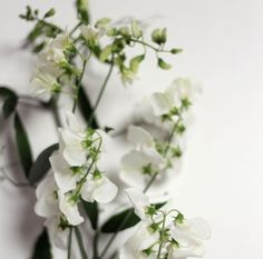 Japanese Sweetpea-The Floral Society Flower Glossary