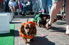 Southlake Chamber of Commerce Oktoberfest 2011 Weiner Dog Race #dachshund