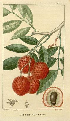 52 Best Lychee images in 2016 | Botanical art, Botanical