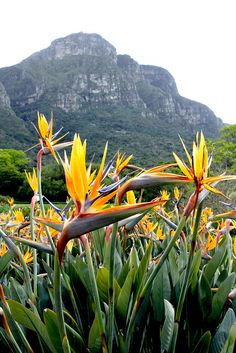 Strelitzia #Kirstenbosch #botanical gardens #CapeTown (ironically this is the flower emblem for L.A. but it comes from South Africa).