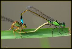 Mating Damsels - DSC_4015 by Dadida, via Flickr