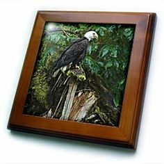 "Alaska, Inside Passage. Bald eagle, splintered log - US02 BJA0081 - Jaynes Gallery - 8x8 Framed Tile by 3dRose. $22.99. Keyhole in the back of frame allows for easy hanging.. Dimensions: 8"" H x 8"" W x 1/2"" D. Inset high gloss 6"" x 6"" ceramic tile.. Cherry Finish. Solid wood frame. Alaska, Inside Passage. Bald eagle, splintered log - US02 BJA0081 - Jaynes Gallery Framed Tile is 8"" x 8"" with a 6"" x 6"" high gloss inset ceramic tile, surrounded by a solid wood frame w..."