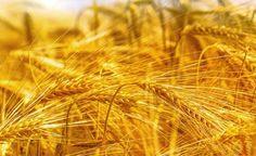 Wir stellen viele aussergewöhnliche Eigenschaften der Gerste vor und erklären, wie Sie die Gerste zubereiten können. (Zentrum der Gesundheit) © Bits and Splits - Fotolia.com #vegan #gesundheit #gerste